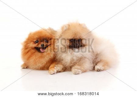 Pomeranian Spitz on the white background isolated