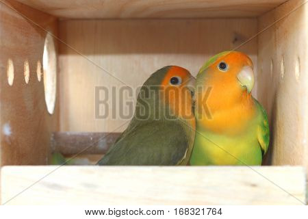 close up Lovebird in a wood Cage