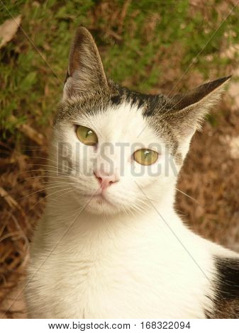 This is a close view of a domestic shorthair cat which is mostly white with black and tabby markings