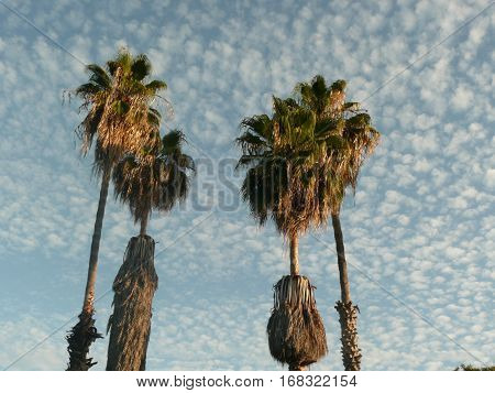 This is a low angle view of palm trees in the late afternoon with altocumulus floccus clouds