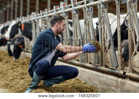 agriculture industry, farming, people and animal husbandry concept - young man or farmer feeding herd of cows with hay in cowshed on dairy farm