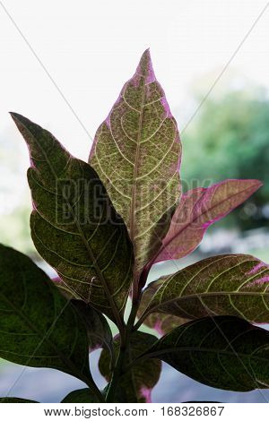 colorful leafs texture with back light in garden.