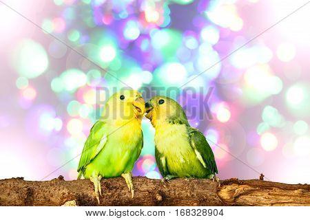 close up lovebird on Blurred fairy lights background