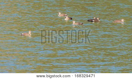 Flock of Eastern Spot-billed ducks swimming together in a river