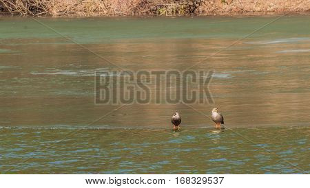 Two Eastern Spot-billed standing on a thin sheet of ice that has formed on the top of a river