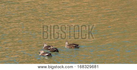Four Eastern Spot-billed ducks swimming together in a river