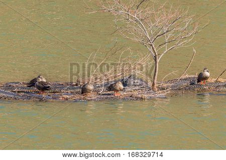Flock of Eastern spot-billed ducks on a man-made island in the middle of a river