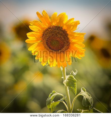 A square format of a lovely fresh sunflower