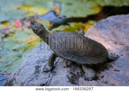 A cute turtle sitting on a rock with his head up