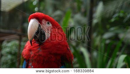 Red Macaw bird on the nature in Foz do Iguazu, Brazil