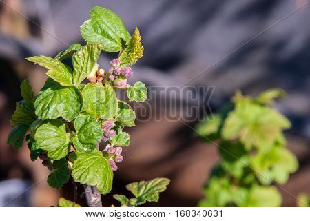 Dissolve the spring currant buds with a blurred background