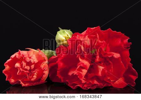 Flowers of red carnation (Dianthus caryophyllus) isolated on black background.