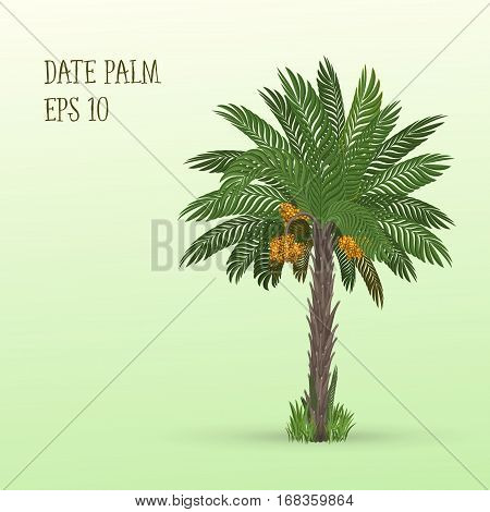 Vector illustration of Date palm tree with ripe fruits dates on light green background