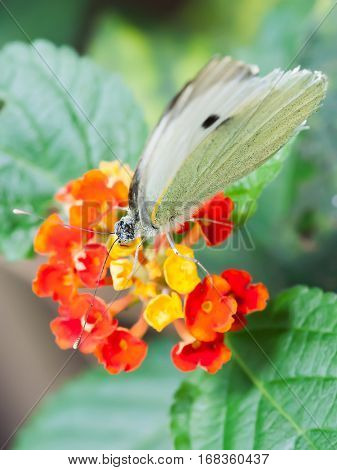 Pieris brassicae butterfly on red and yellow flowers Paris France