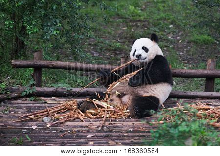 Giant Panda eating bamboo lying down on wood in Chengdu Sichuan Province China