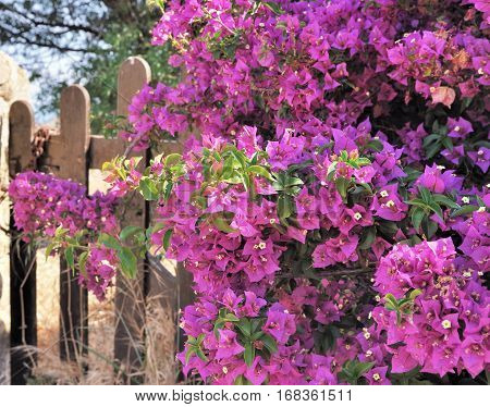 beautiful blossom of a pink bougainvillea on a fence