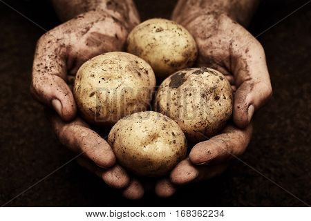 Potatoes in male hands on soil background