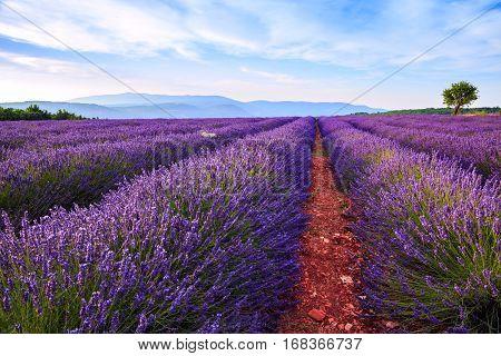 Lavender field summer landscape near Sault. Provence. France