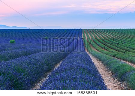 Lavender Fields At Sunset Near Valensole