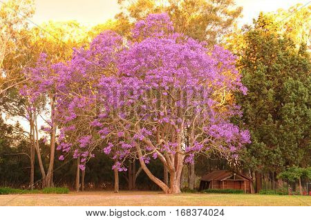 Purple Jacaranda tree in full bloom with log chapel beside. Australia country scene.