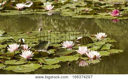 Many waterlilies of pink colour on water with leaves vertical.