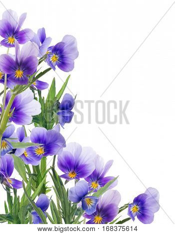 corner from pansy flowers isolated on white background