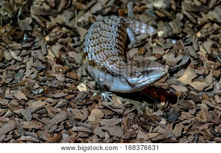 blue tongued skink, not a big lizard, brown