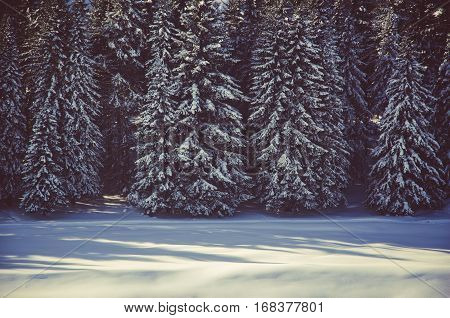 Coniferous Trees, Thickets Of Green Forest