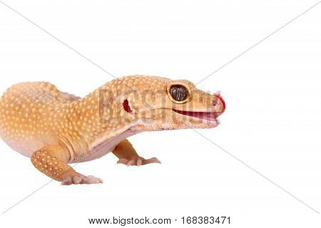 Yellow And Orange Spotted Leopard Gecko On White
