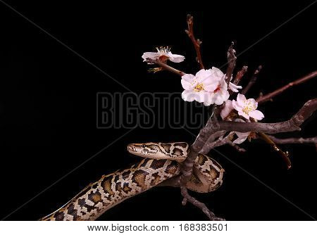 Butter Ball Royal Python Moorish Viper Boa Snake On A Branch With Flowers On Dark Background