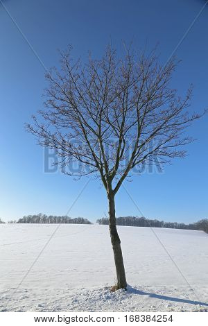 Single tree in winter landscape Ore Mountains Saxony Germany