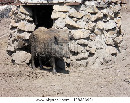 The photo of a wild boar in a zoo near stones