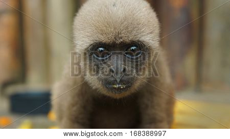 Curious baby Chorongo monkey looking at the camera very close to the lens. Common names: Woolly monkey, Chorongo monkey. Scientific name: Lagothrix lagothricha