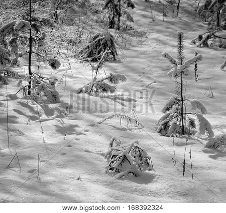 Pine Forest In The Winter. Snow On Tenterhooks