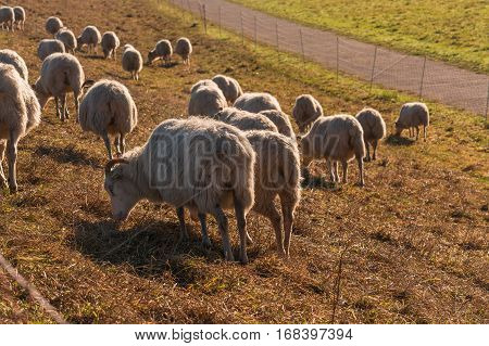 Herd of sheep grazing on a dike with green grass on the banks of the Rhine near Zons Germany.