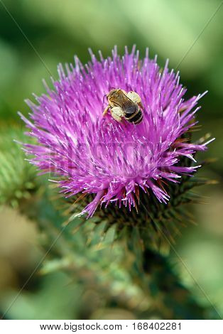 Working bee on a flower of a thistle in the summer