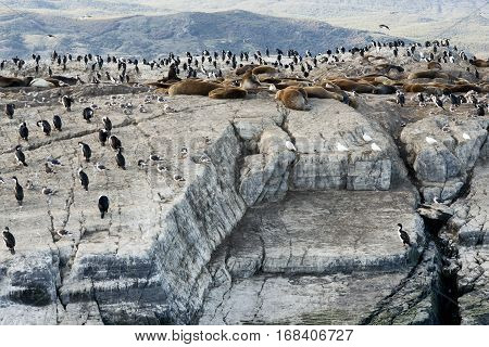 Colony of King Cormorants and Sea Lions on Ilha dos Passaros located on the Beagle Channel Tierra Del Fuego Argentina