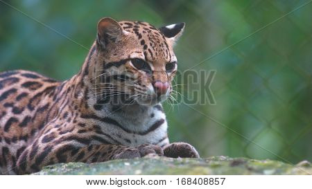 Tigrillo resting on a rock with green background. Common names: Ocelote, Tigrillo. Scientific name: Leopardus pardalis