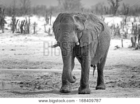 African Elephant walking across the plains in Hwange National Park in black & white - Zimbabwe, Southern Africa