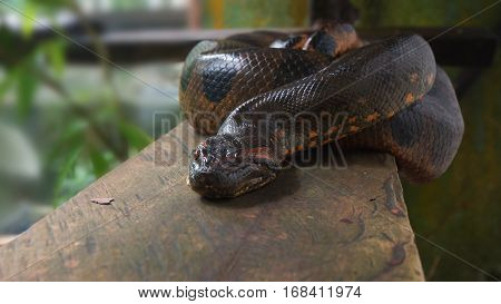 Anaconda on a wooden log. Scientific name: Eunectes murinus