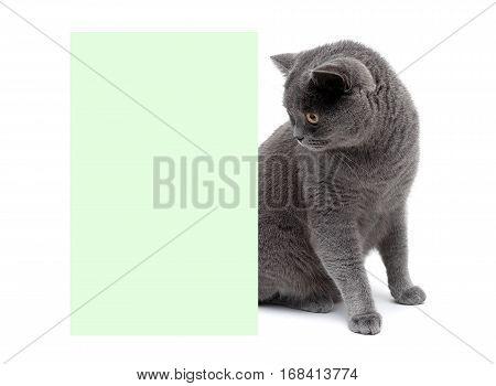 beautiful gray cat sitting at the banner. white background - horizontal photo.