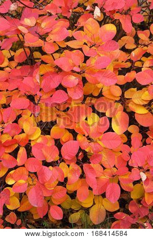 Beautiful yellow and red autumn leaves of sumac. Latin name - Cotinus coggygria