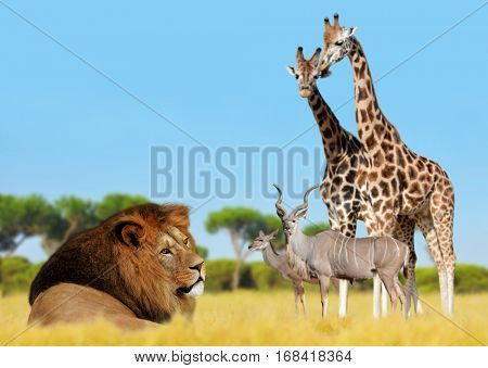 Lion with giraffes and antelopes on the savannah .
