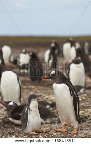 Gentoo Penguin with chick (Pygoscelis papua) stay close together on Bleaker Island in the Falkland Islands