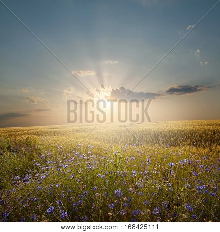 Summer landscape with a field of blue blooming flowers