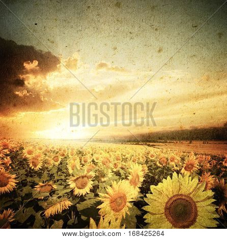 Field of flowers sunflowers on a background sunset.sunflowers on a grunge background