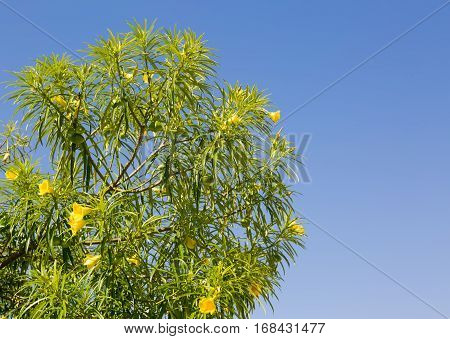 Yellow Oleander (Thevetia peruviana) against a clear blue sky