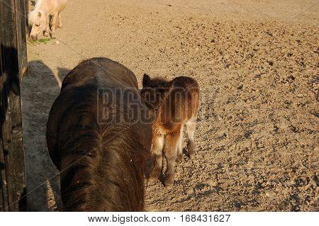 cute brown foal in paddock and horse