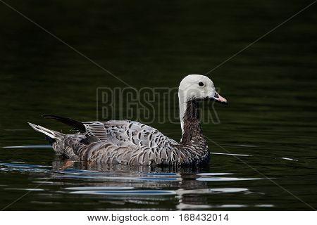 Emperor goose swimming in water in its habitat