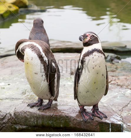 Humboldt penguins standing and preening on a rock